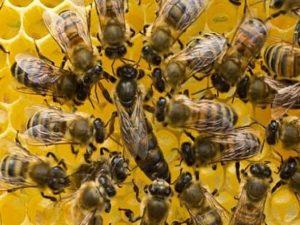 пчела-майка