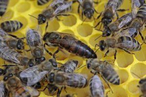 Инвентар за пчелни майки