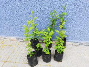 хибискус корен